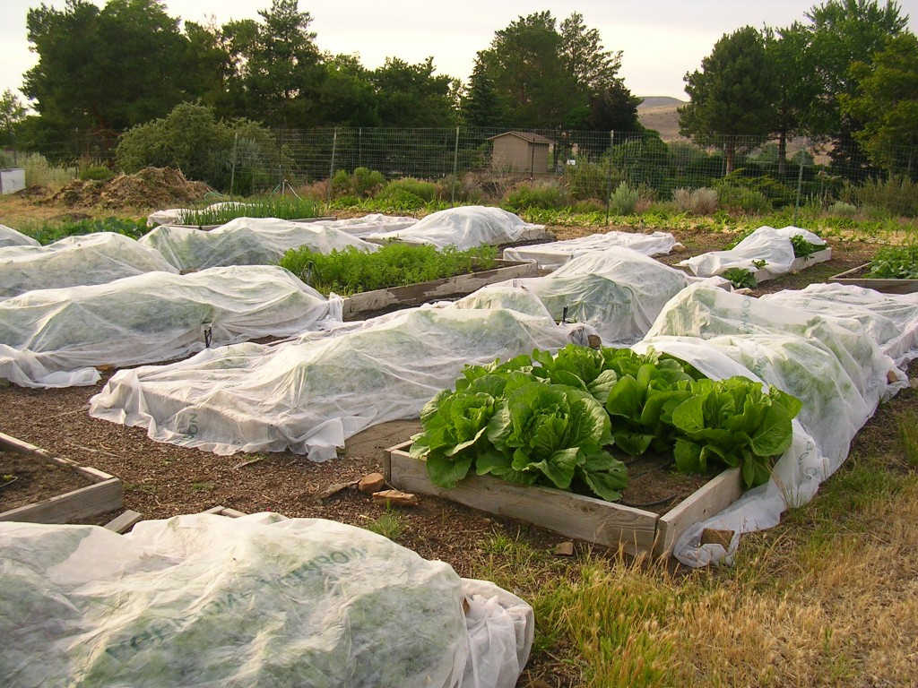 Cover plants with cloth to prevent frost
