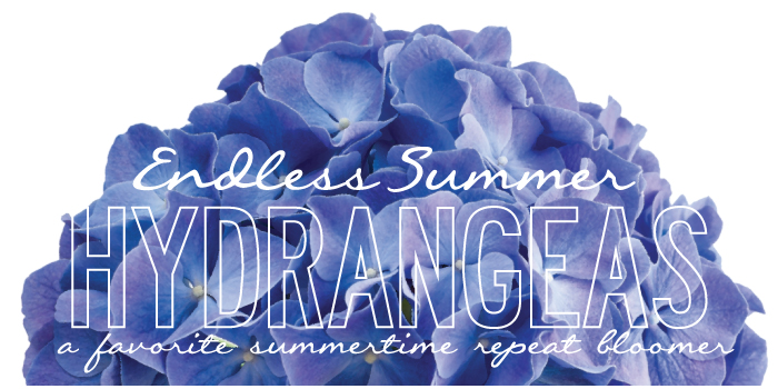 Endless Summer Hydrangeas