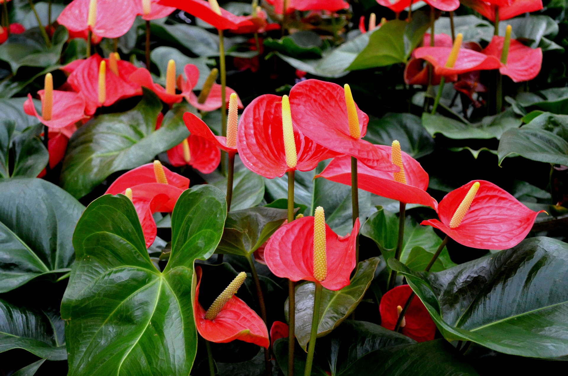 They Have Thick Green Leaves And Heart Shaped Blooms That Can Be Red White Pink Or Blackish Depending On The Variety