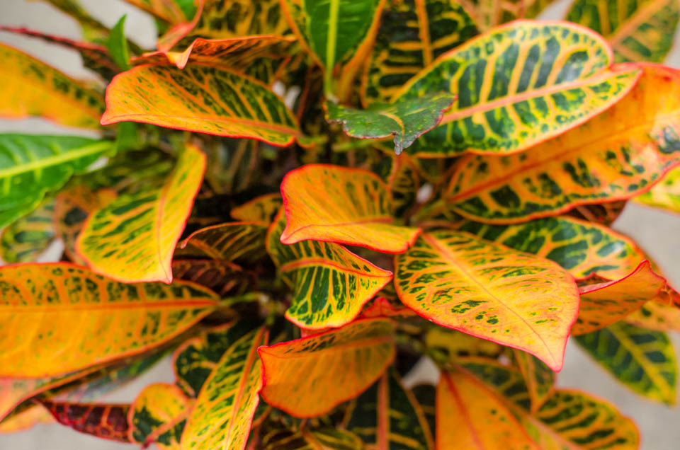 Crotons Are The Perfect Fall Colored Houseplant One Plant Has Green Orange Red And Yellow Leaves Like Bright Light Lightly Moist Soil