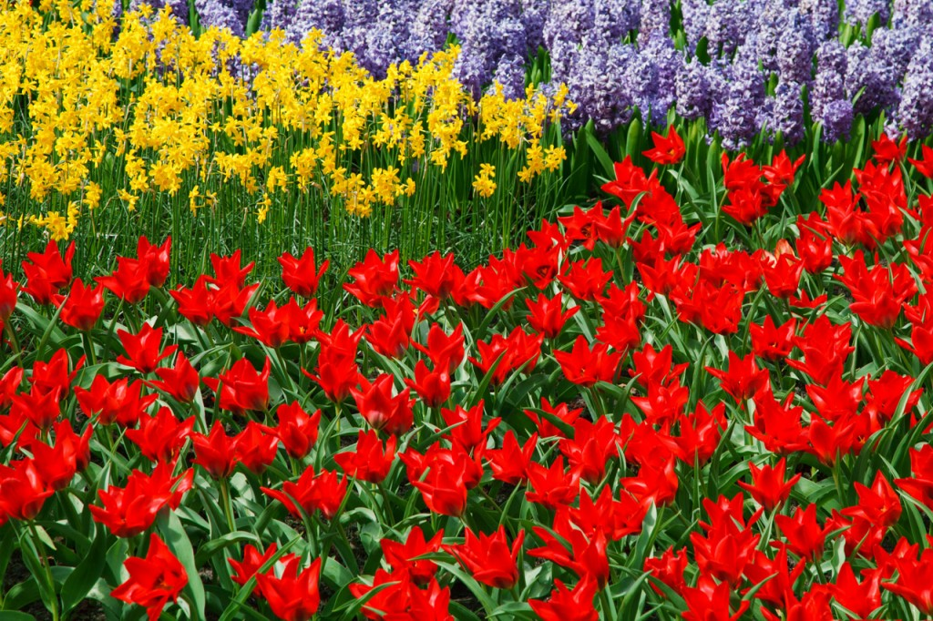 daffodils, tulips and hyacinth