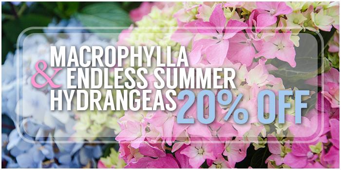 MacrophyllaEndlessSummerHydrangea20%Off
