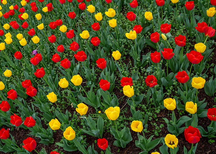 Fall Bulbs Plant Now For Spring Color Strange S Florists